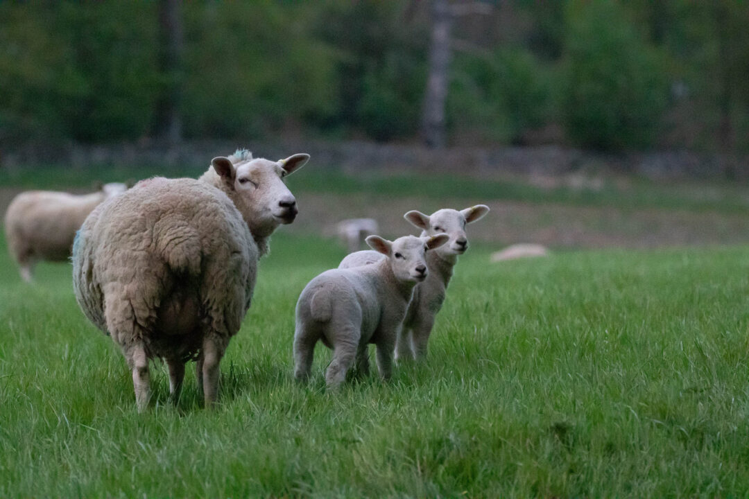 New lambs at Nanpantan Hall in Leistershire
